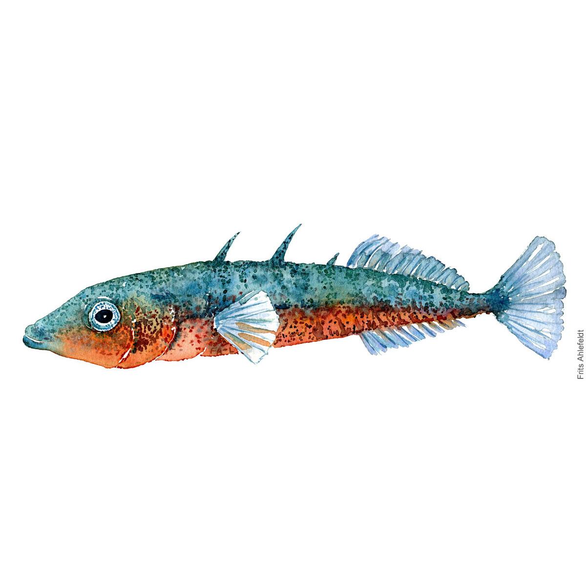 Trepigget hundestejle - Three spined stickleback fish watercolor illustration. Painting by Frits Ahlefeldt. Fiske akvarel