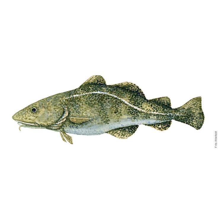 Torsk - Cod fish watercolor illustration. Painting by Frits Ahlefeldt. Fiske akvarel