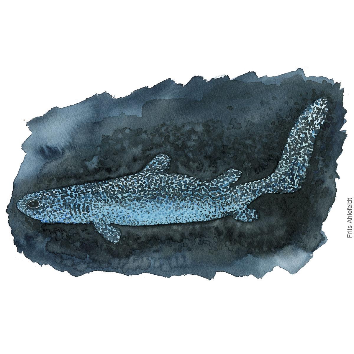 Kitefin shark fish watercolor illustration. Painting by Frits Ahlefeldt. Fiske akvarel