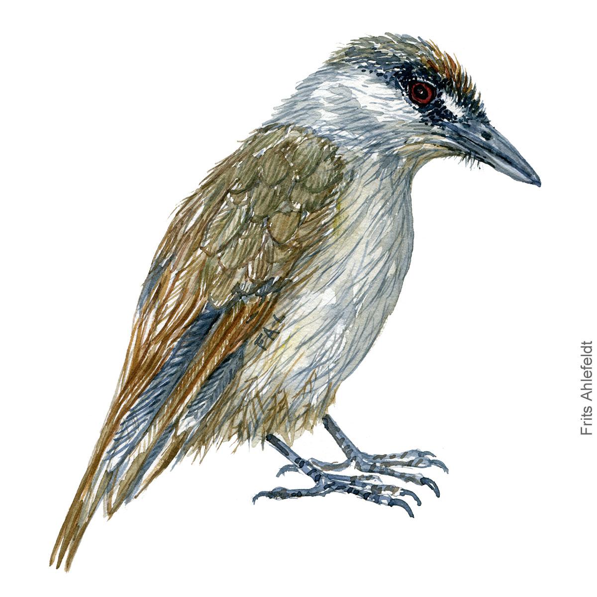 Black browed babbler- watercolor illustration. Painting by Frits Ahlefeldt - Fugle akvarel tegning