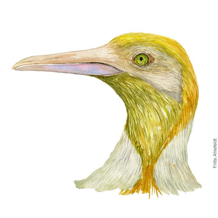 Rare yellow king penguin, missing black color watercolor illustration. Painting by Frits Ahlefeldt - Fugle akvarel tegning kongepingvin