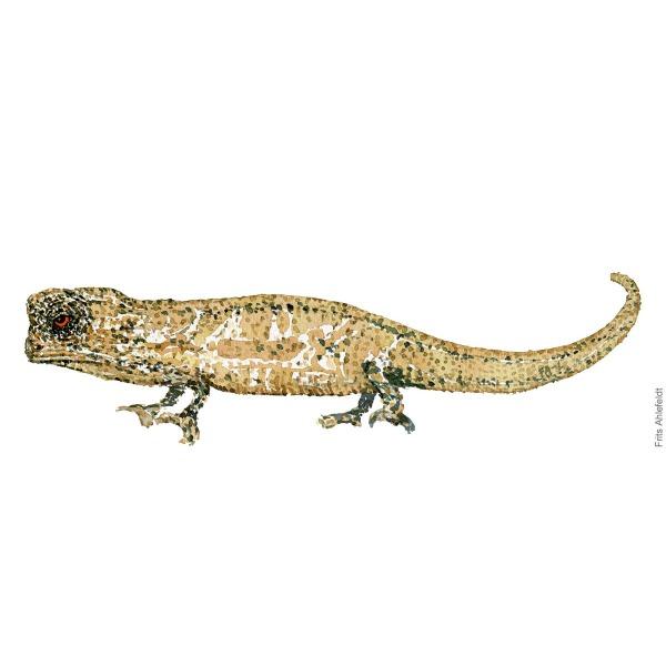 Dværg kamæoleon. Dwarf chameleon. watercolor illustration. Painting by Frits Ahlefeldt - Fugle akvarel tegning