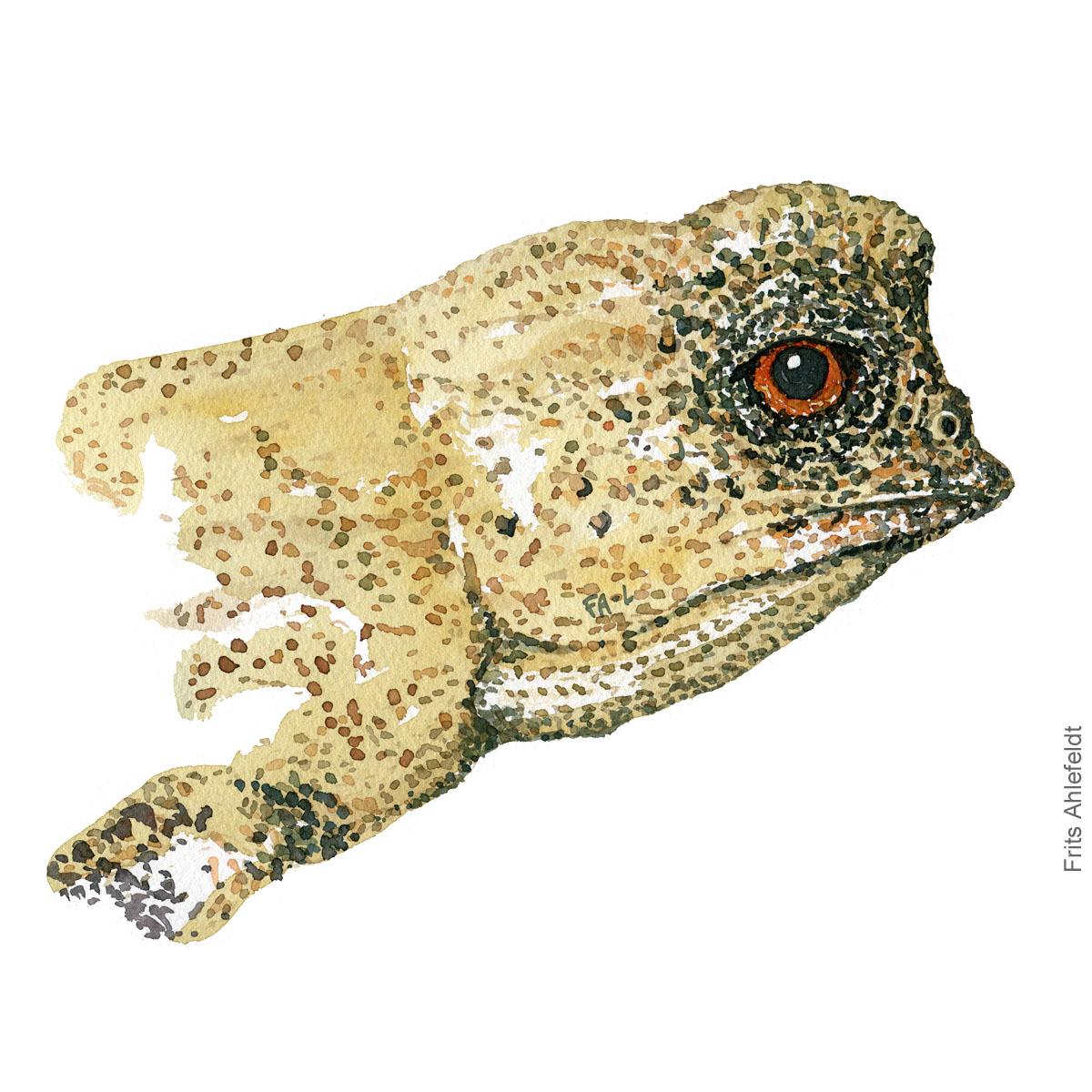 Dvaerg kamaeleon - Dwarf chameleon head. watercolor illustration. Painting by Frits Ahlefeldt - Fugle akvarel tegning