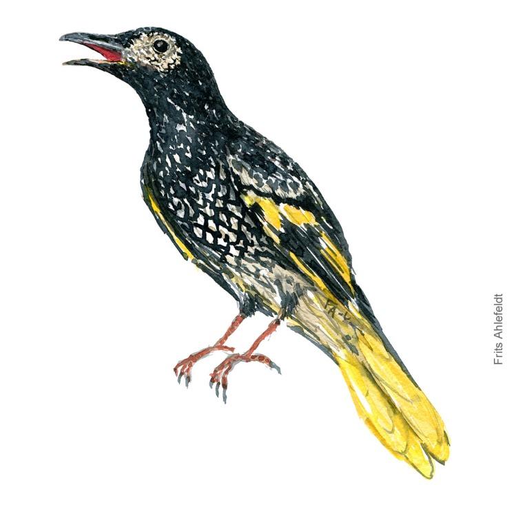 Regent honeyeater bird watercolor illustration. Painting by Frits Ahlefeldt - Fugle akvarel tegning