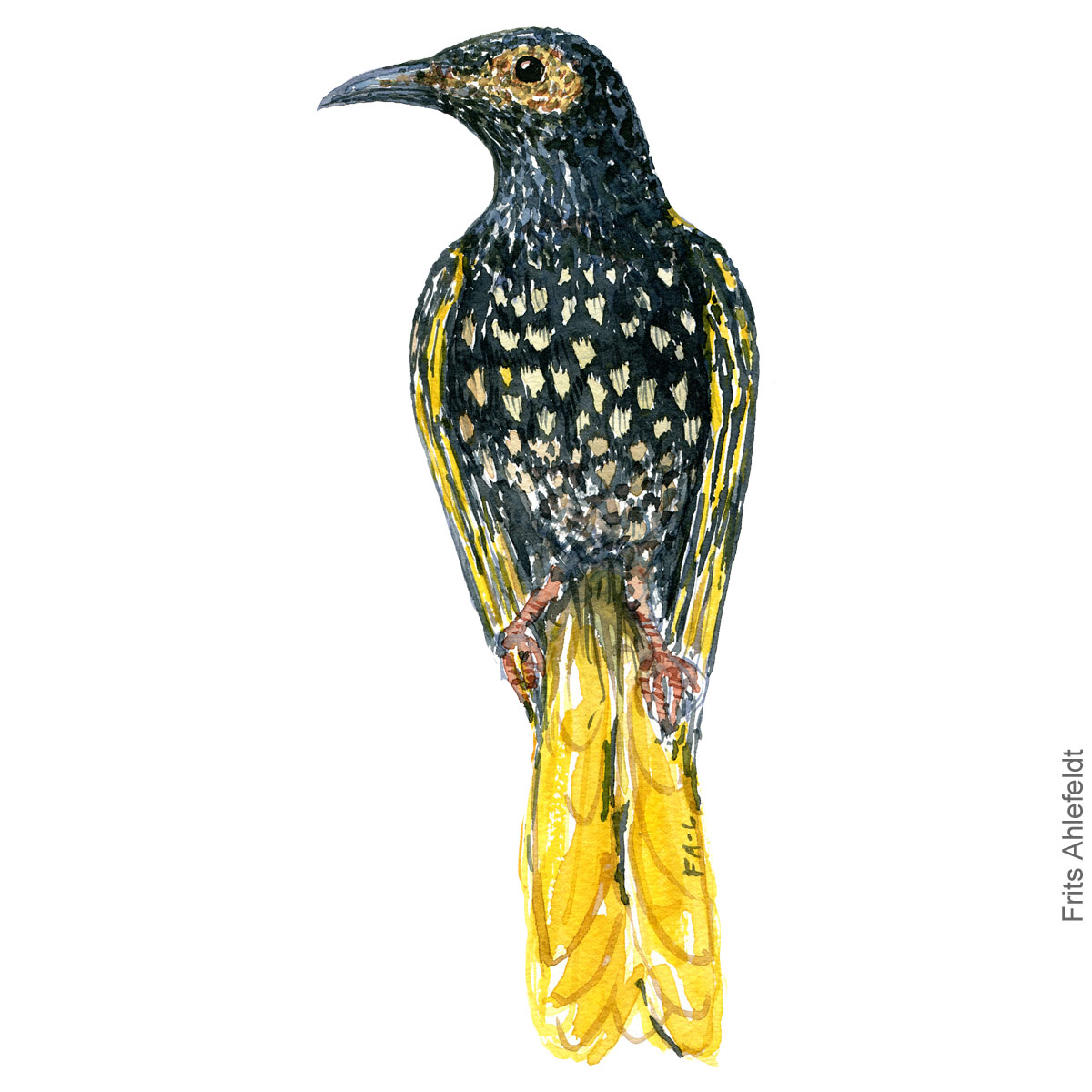 Dw00462 Regent honeyeater watercolor illustration. Painting by Frits Ahlefeldt - Fugle akvarel tegning
