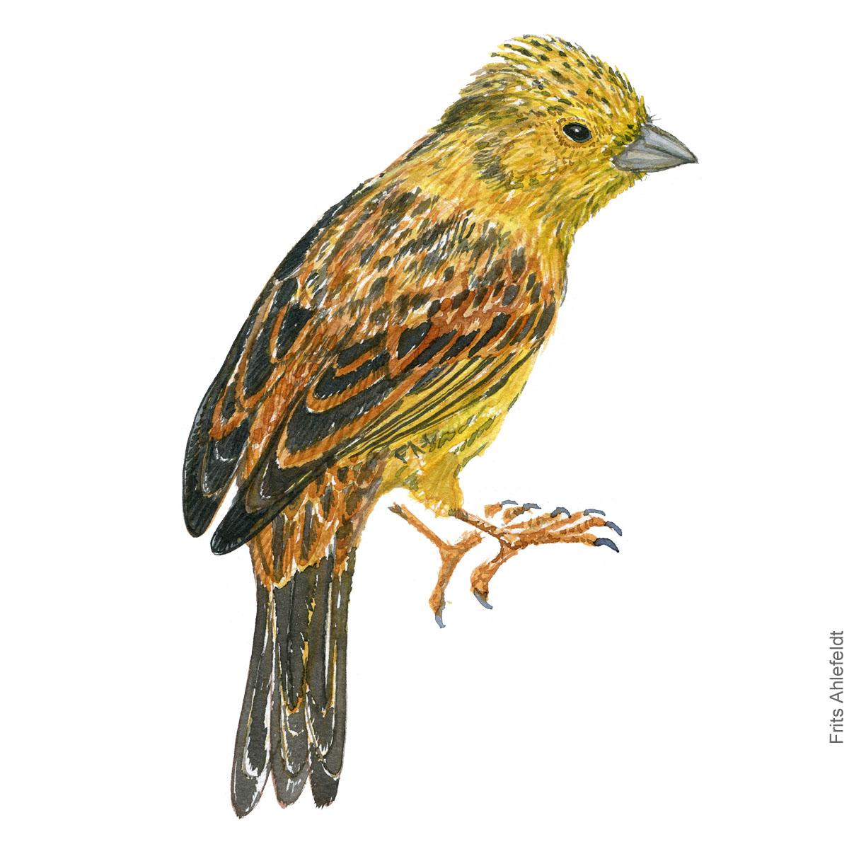 Guldspurv - Yellow hammer watercolor illustration. Painting by Frits Ahlefeldt - Fugle akvarel tegning