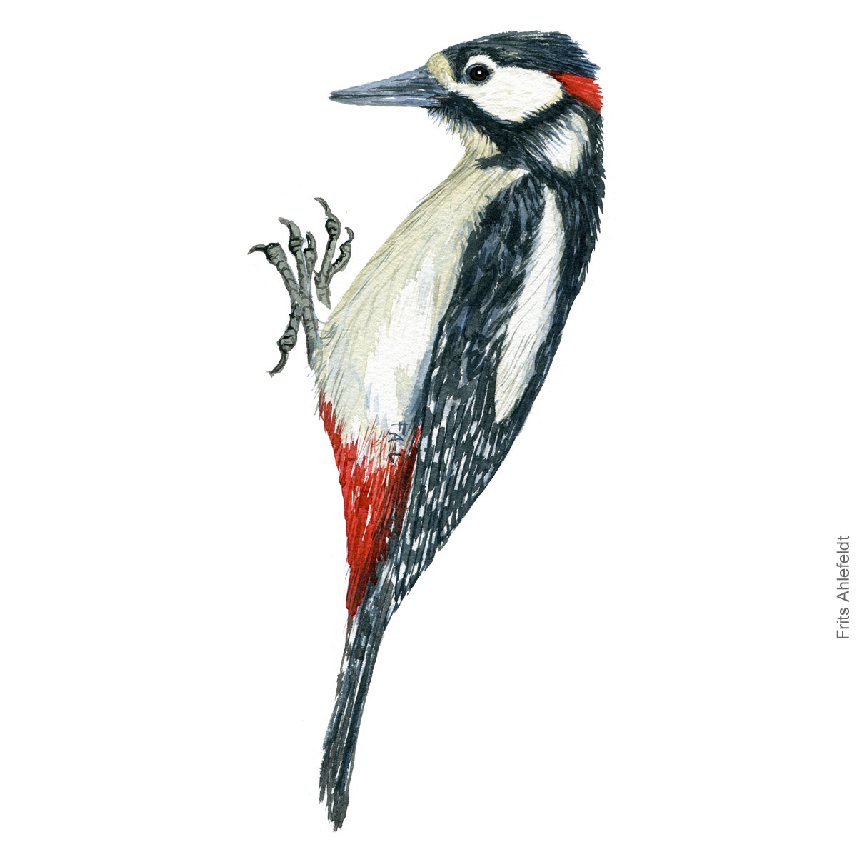 Stor flagspaette - Great spotted woodpecker watercolor illustration. Painting by Frits Ahlefeldt - Fugle akvarel tegning