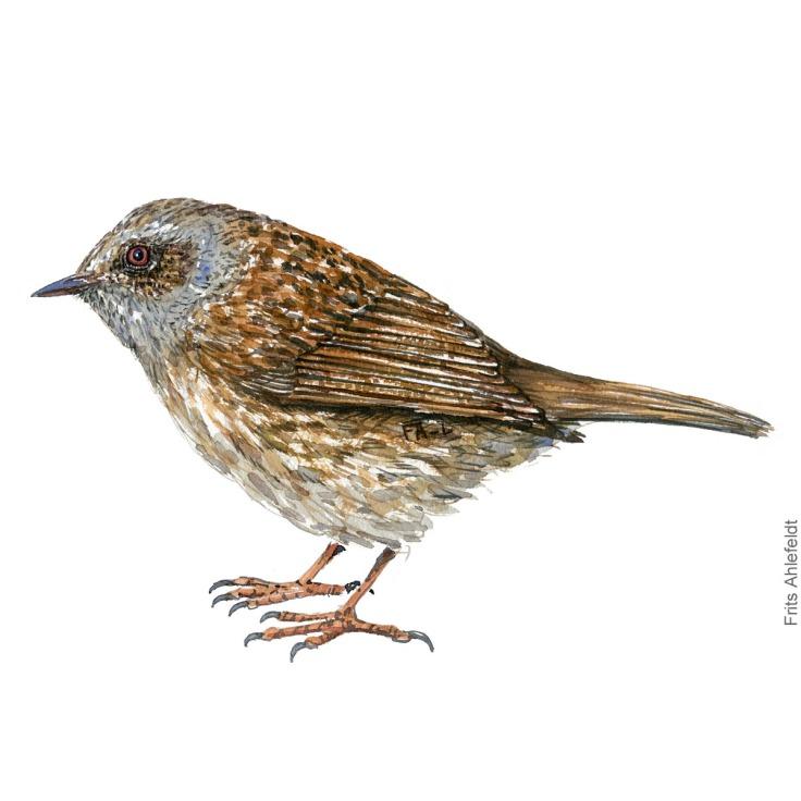 Jernspurv - Dunnock bird watercolor illustration. Artwork by Frits Ahlefeldt. Fugle akvarel