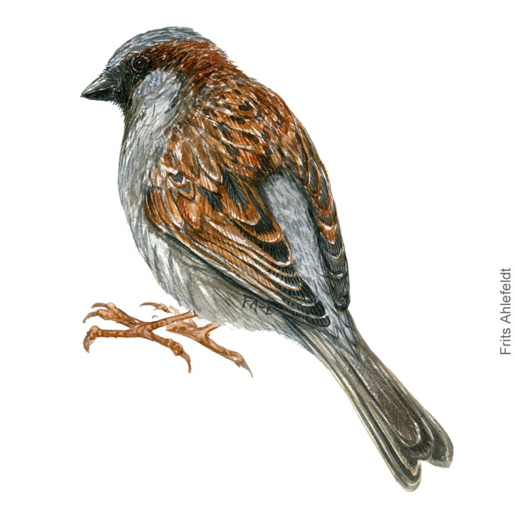 graaspurv - House sparrow bird watercolor illustration. Artwork by Frits Ahlefeldt. Fugle akvarel