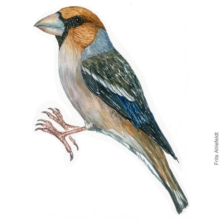 Kernebider - Hawfinch bird watercolor illustration. Artwork by Frits Ahlefeldt. Fugle akvarel