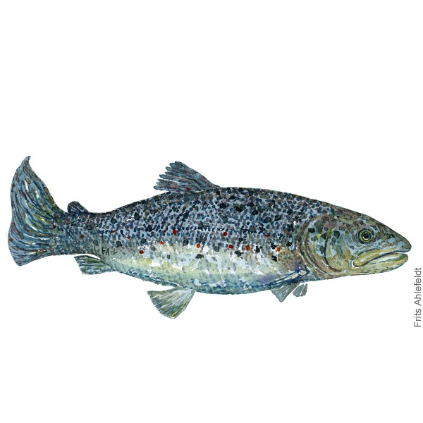 oerred - trout fish watercolor illustration. Artwork by Frits Ahlefeldt. Fisk akvarel