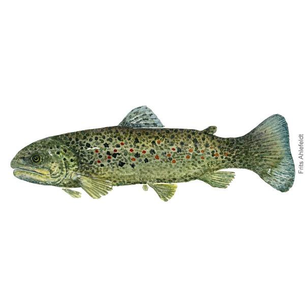 Oerred - Trout oerred - trout fish watercolor illustration. Artwork by Frits Ahlefeldt. Fisk akvarel