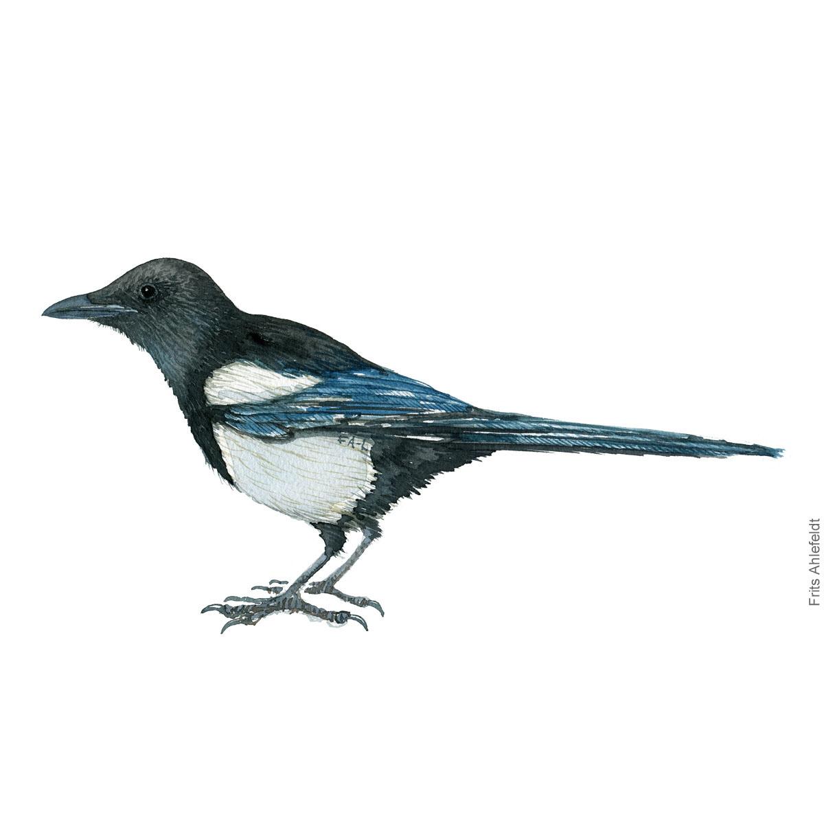 Skade - Eurasian magpie bird watercolor illustration. Artwork by Frits Ahlefeldt. Fugle akvarel