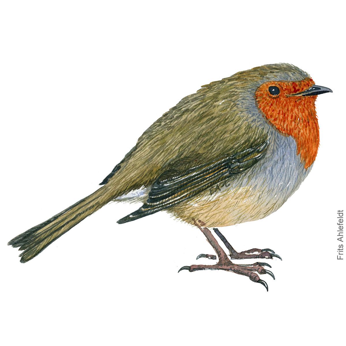 Rødhals - European robin bird watercolor illustration. Artwork by Frits Ahlefeldt. Fugle akvarel