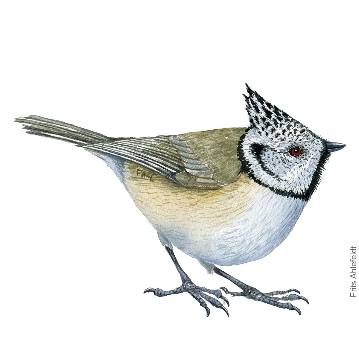 Topmejse - European crested tit bird watercolor illustration. Artwork by Frits Ahlefeldt. Fugle akvarel