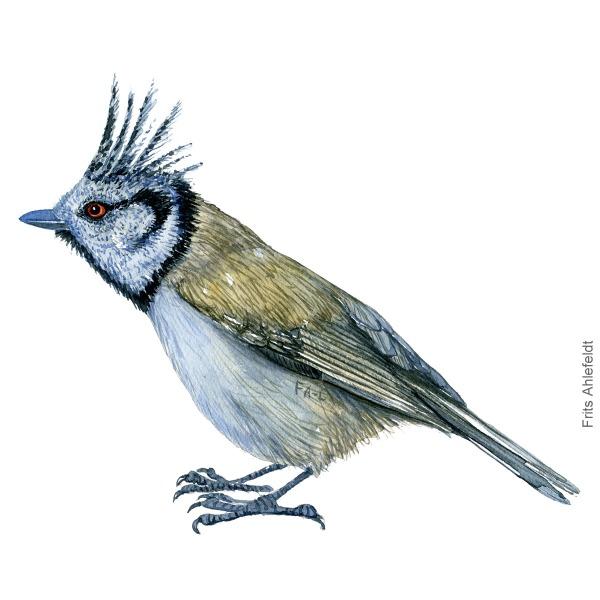 Topmejse - Crested tit bird watercolor illustration. Artwork by Frits Ahlefeldt. Fugle akvarel