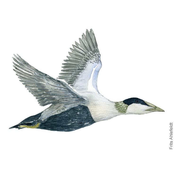Edderfugl - Eider duck bird watercolor illustration. Artwork by Frits Ahlefeldt. Fugle akvarel