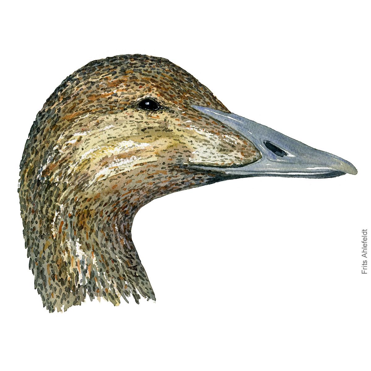 Edderfugl hun - Female Eider duck bird watercolor illustration. Artwork by Frits Ahlefeldt. Fugle akvarel