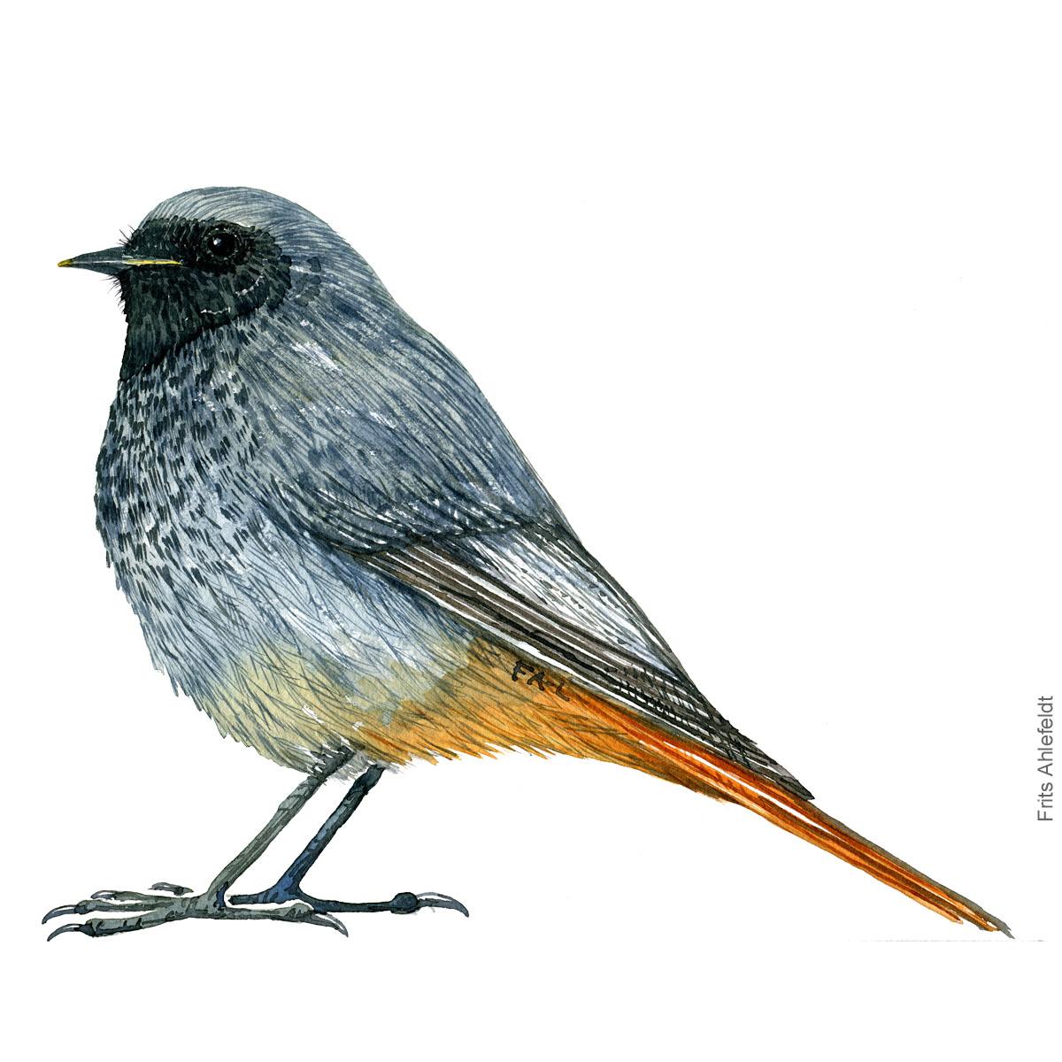 Husrødstjert - Black redstart bird watercolor illustration. Artwork by Frits Ahlefeldt. Fugle akvarel