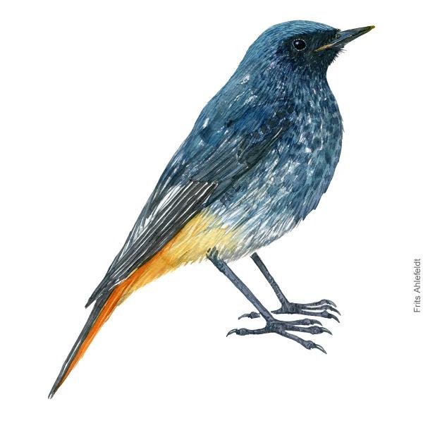 Husroedstjert - Black redstart bird watercolor illustration. Artwork by Frits Ahlefeldt. Fugle akvarel