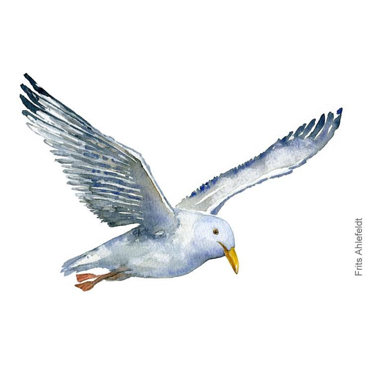 maage med fødderne ude, seagull with feet out bird watercolor illustration. Artwork by Frits Ahlefeldt. Fugle akvarel