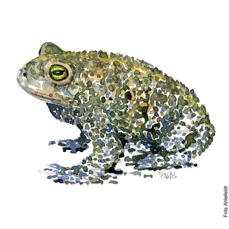Natterjack toad, Strandtudse, Bufo calamita watercolor painting. Akvarel af Frits Ahlefeldt