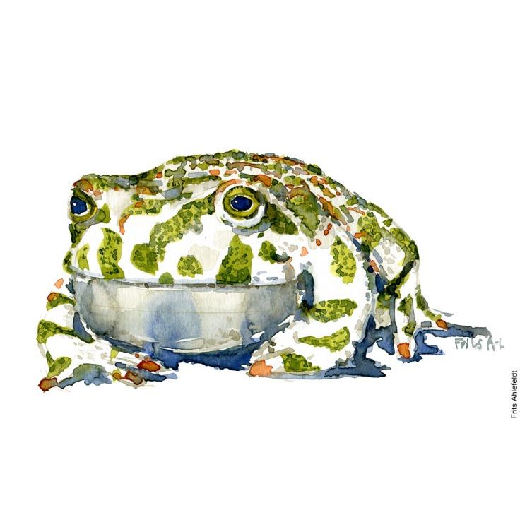 Watercolor of Green toad, (Grønbroget tudse, Bufo viridis ) - Froe Akvarel af Frits Ahlefeldt - Watercolor