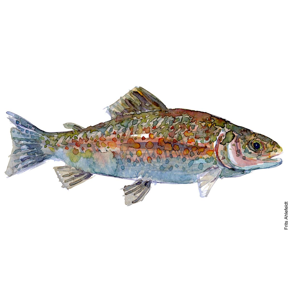 - Dansk Ferskvandsfisk Akvarel af Frits Ahlefeldt - freshwater fish Watercolor