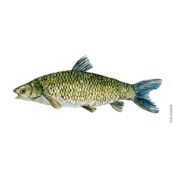 Graeskarpe - Dansk Ferskvandsfisk Akvarel af Frits Ahlefeldt - freshwater fish Watercolor