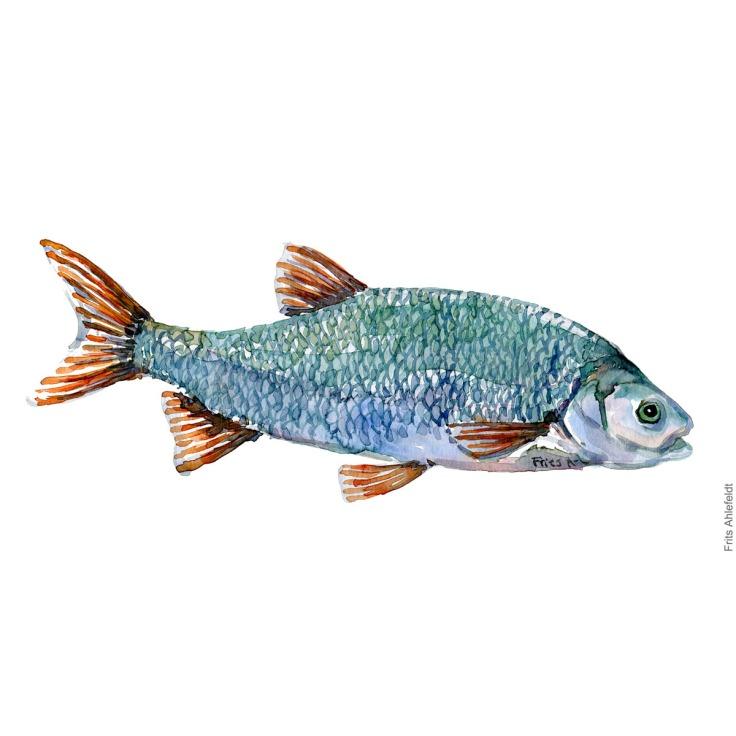 Rimte - Dansk Ferskvandsfisk Akvarel af Frits Ahlefeldt - freshwater fish Watercolor