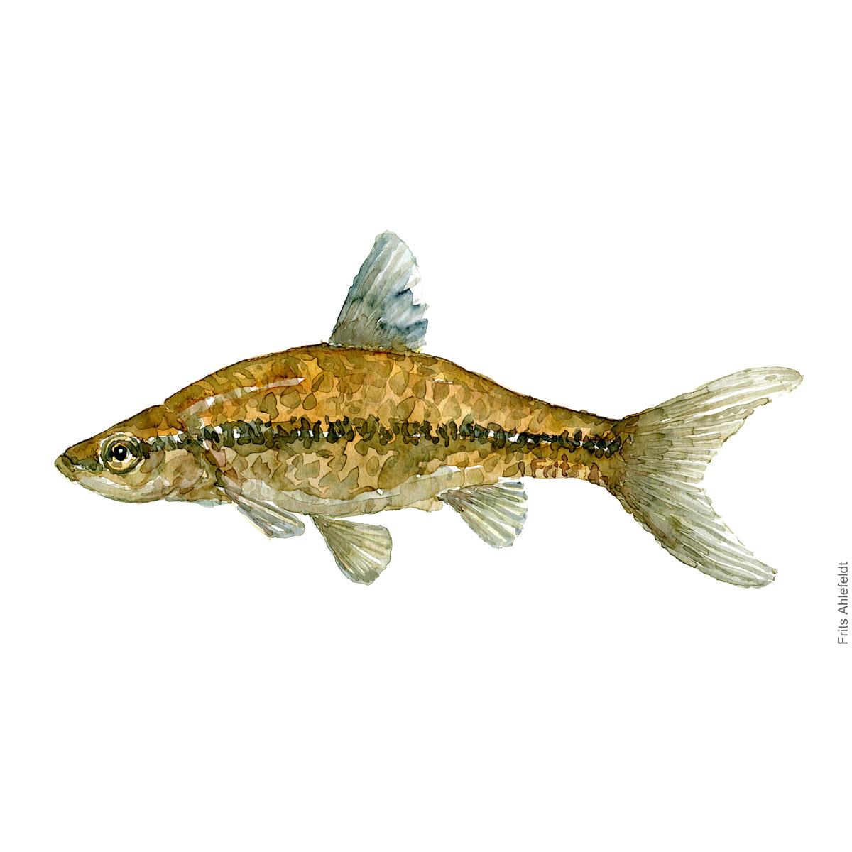 Baandgrundling - Dansk Ferskvandsfisk Akvarel af Frits Ahlefeldt - freshwater fish Watercolor