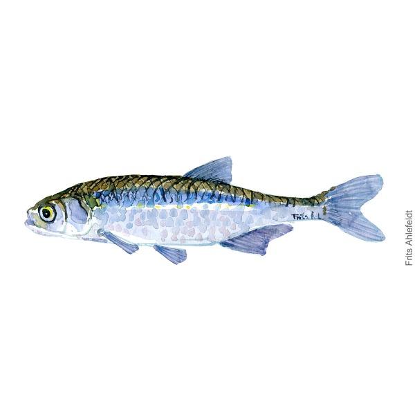 Regnloeje - Sunbleak - Dansk Ferskvandsfisk Akvarel af Frits Ahlefeldt - freshwater fish Watercolor