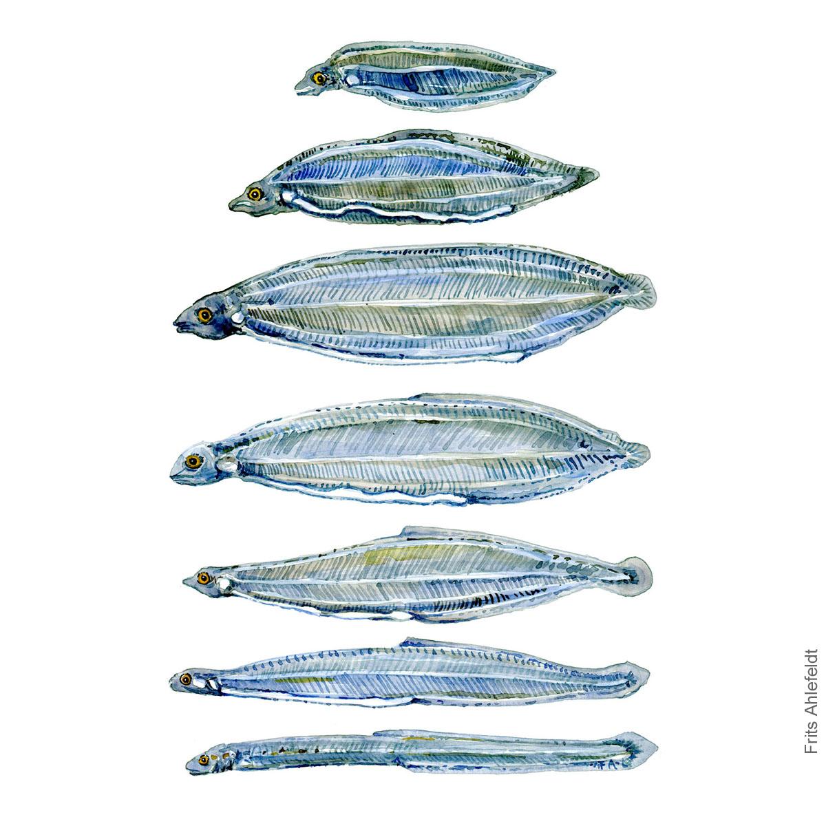 Eel larvae - aalelarver - Akvarel illustration af Frits Ahlefeldt
