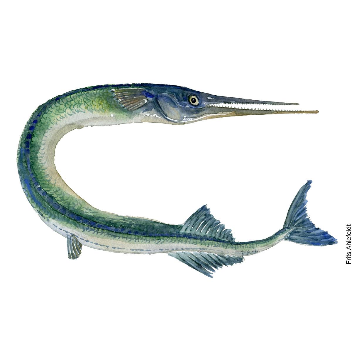 Hornfisk - Akvarel illustration af Frits Ahlefeldt