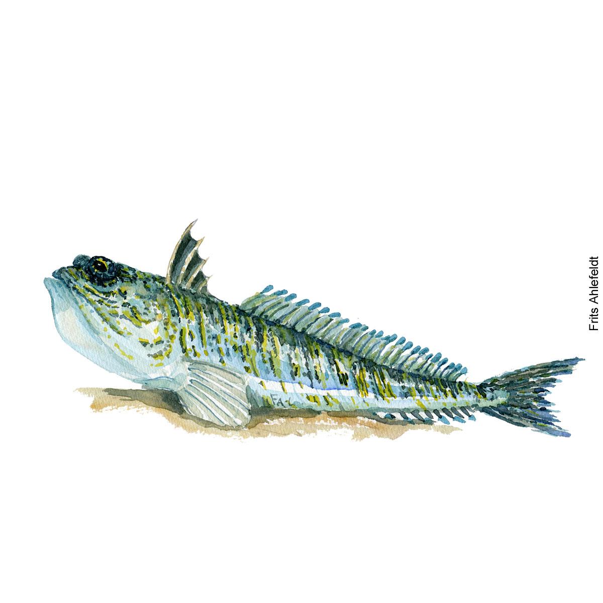 Fjaessing fisk - Akvarel illustration af Frits Ahlefeldt
