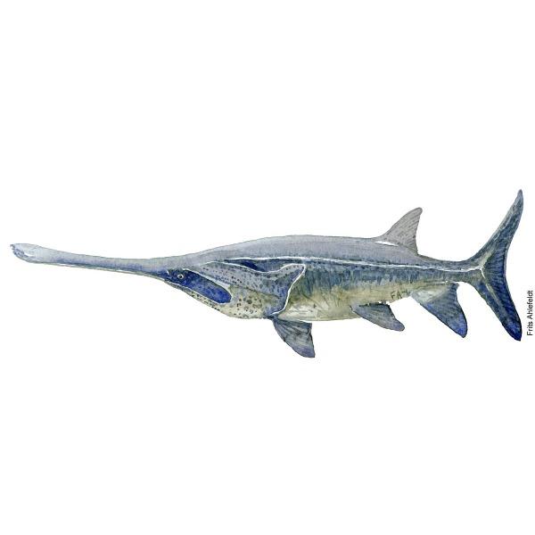 watercolor-chinese-paddlefish-Psephurus gladius-Frits-Ahlefeldt