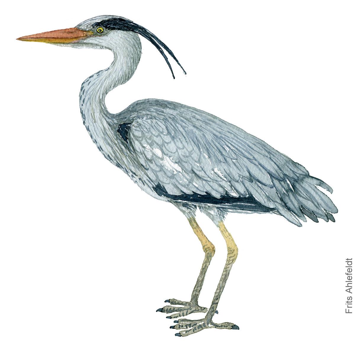 Grey-heron-Ardea cinerea-fiskehejre-frits-ahlefeldt akvarel - Watercolor