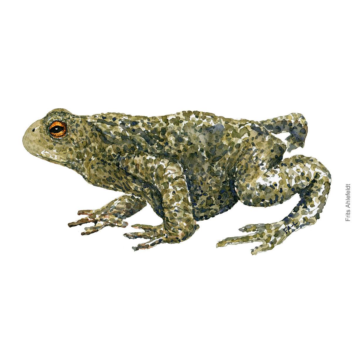 Common-toad-bufo-bufo-skrubtudse-frits-ahlefeldt watercolor - akvarel