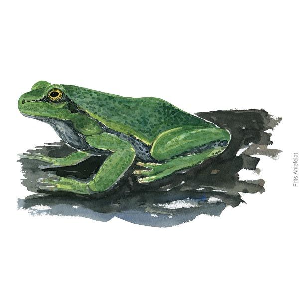 European-treefrog-hyla-arborea-loevfroe-frits-ahlefeldt - Watercolor - akvarel