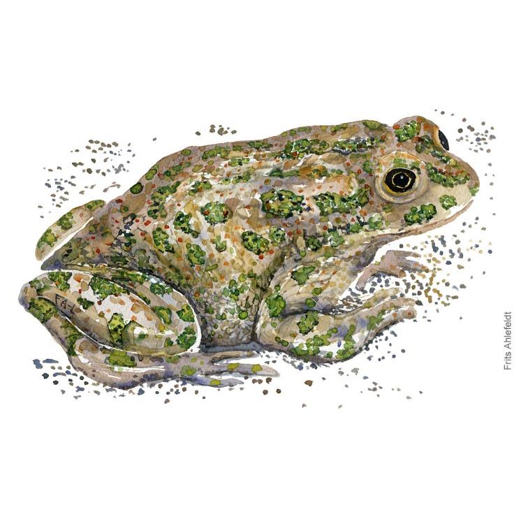 green-toad-bufo-viridis-groenbroget-tudse-frits-ahlefeldt watercolor - akvarel
