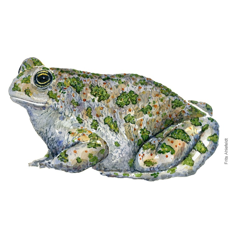 green-toad-bufo-viridis-groenbroget-tudse-frits-ahlefeldt watercolor - akvare